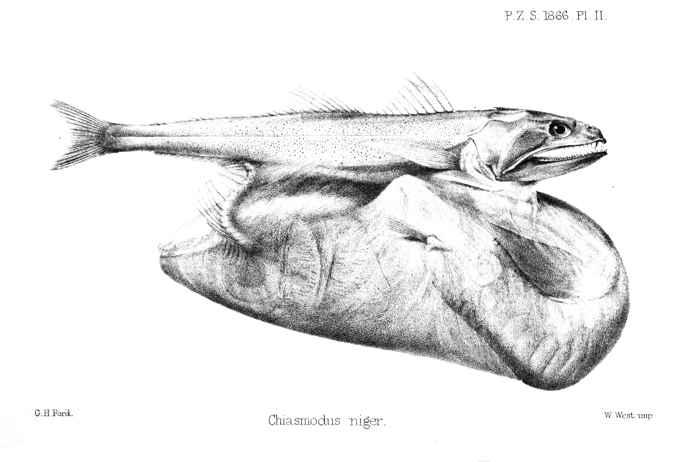 engullidor negro (Chiasmodon niger)