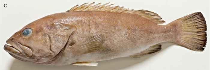 Epinephelus fuscomarginatus