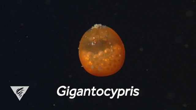 Gigantocypris