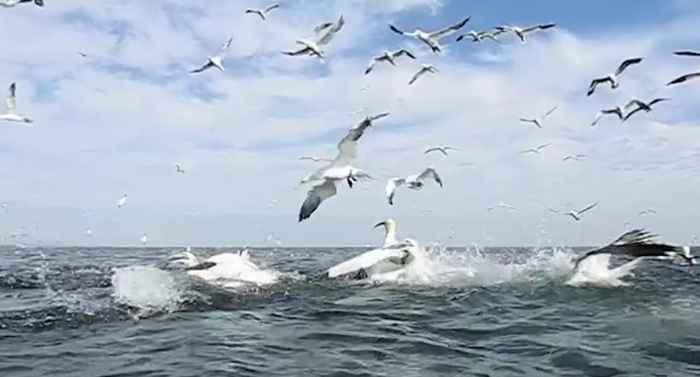 alcatraces pescando
