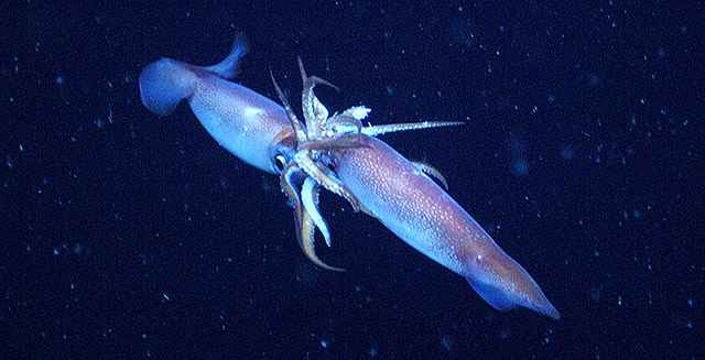 apareamiento de calamares
