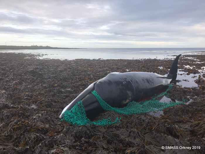 ballena enredada en Escocia
