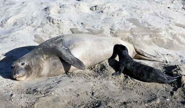 cachorro de foca elefante amamantándose