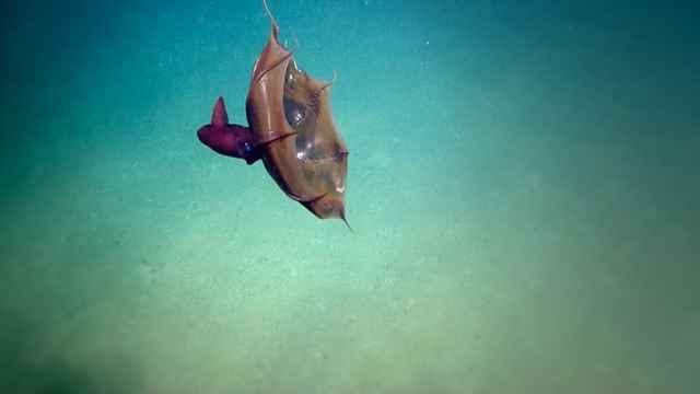 calamar vampiro del infierno (Vampyroteuthis infernalis)