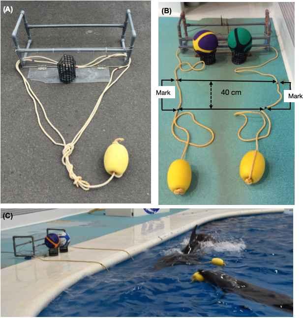 cooperación entre delfines