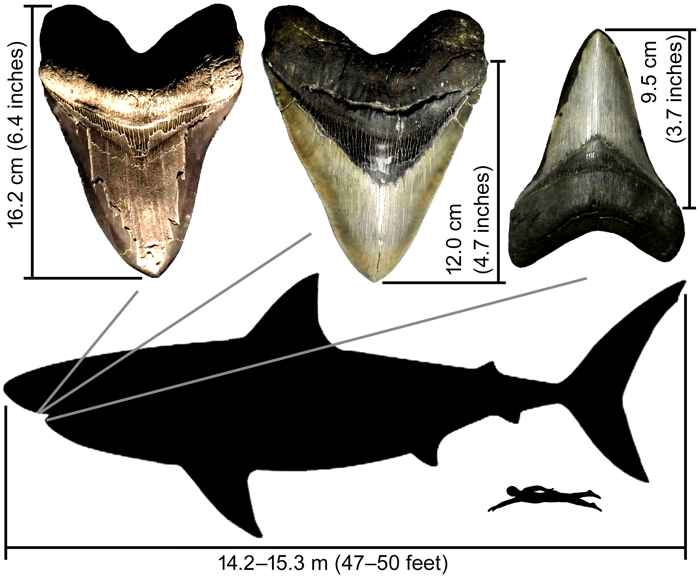 dientes de megalodon usados en el estudio