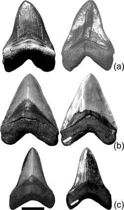 dientes de megalodon