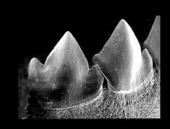 dientes de piraña al microscopio