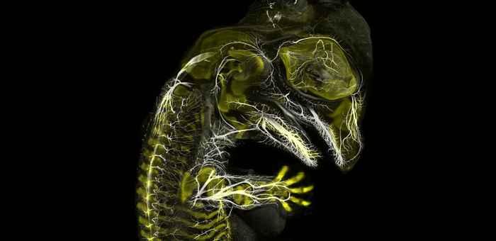 embrión de aligator