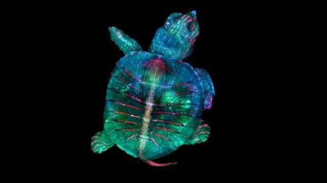 embrión de tortuga al microscopio
