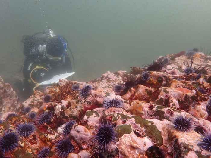 erizos de mar morados