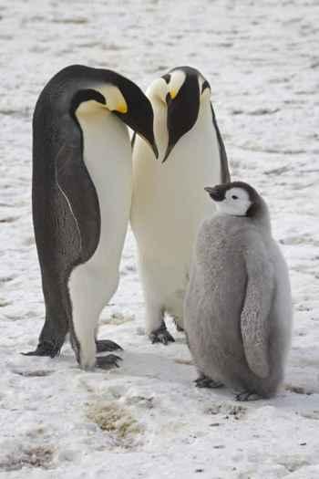 familia de pingüinos emperador