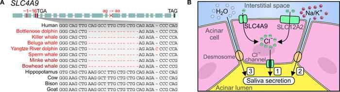 genes que activan la secreción de saliva en los cetáceos