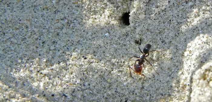 hormiga en una playa