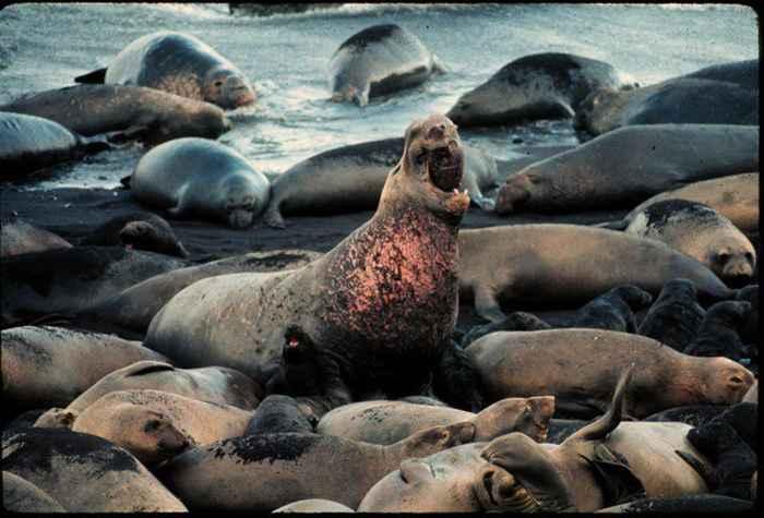macho de foca elefante con hembras y crías