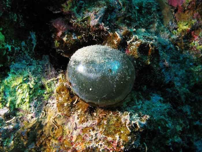 alga ojo de marinero