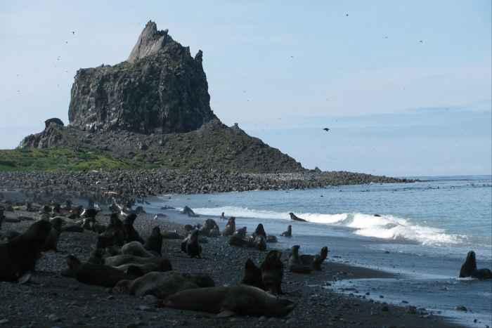 osos marinos del ártico en la isla Bogoslof