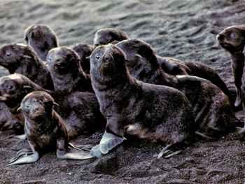 crías de osos marinos del ártico en la isla Bogoslof
