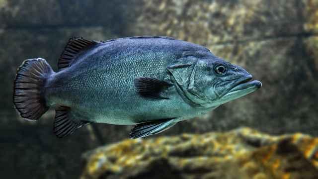 peces y disponibilidad de hierro