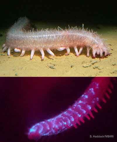 pepino de mar bioluminiscente