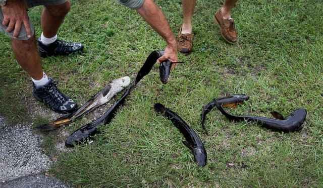 peces cabeza de serpiente en tierra