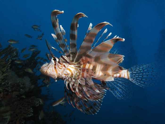 pez león en el Mediterráneo