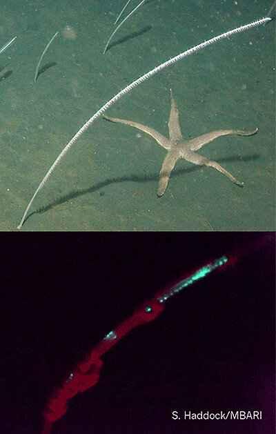pluma marina bioluminiscente