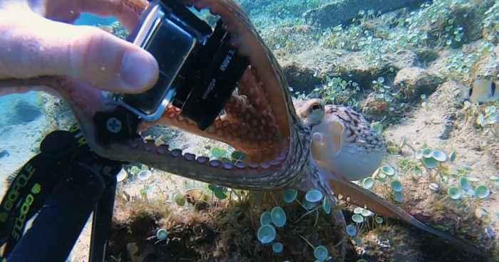 pulpo intenta robar una cámara