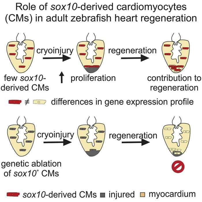 regeneración de cardiomiocitos en el pez cebra
