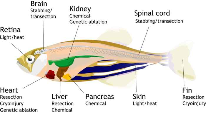 regeneración de órganos en el pez cebra