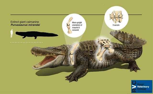 Purussaurus mirandai, reconstrucción