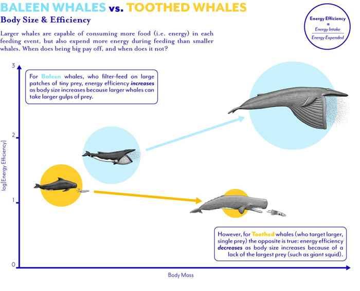 alimentación de ballenas barbadas y dentadas