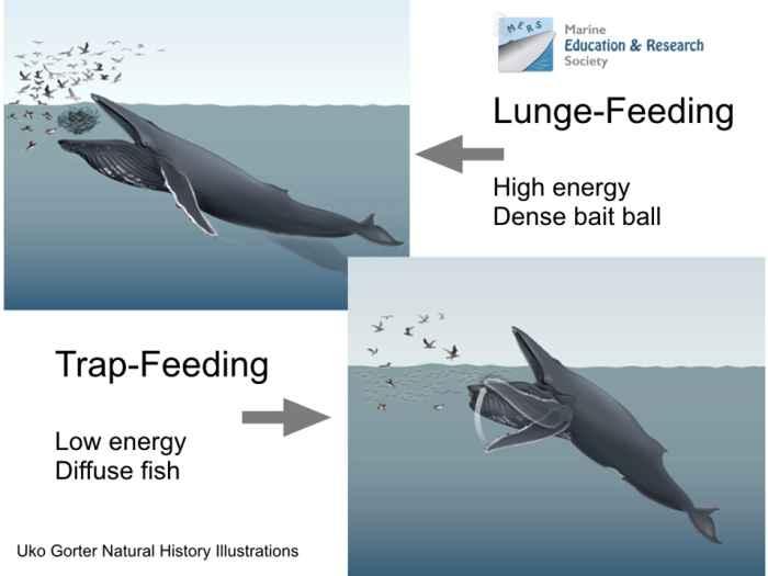 alimentación por trampa de una ballena jorobada