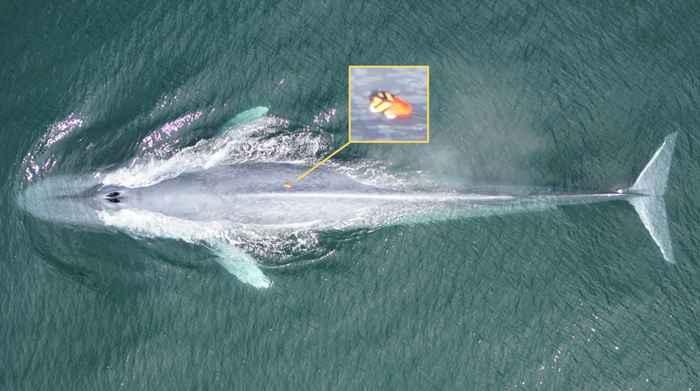 ballena azul etiquetada