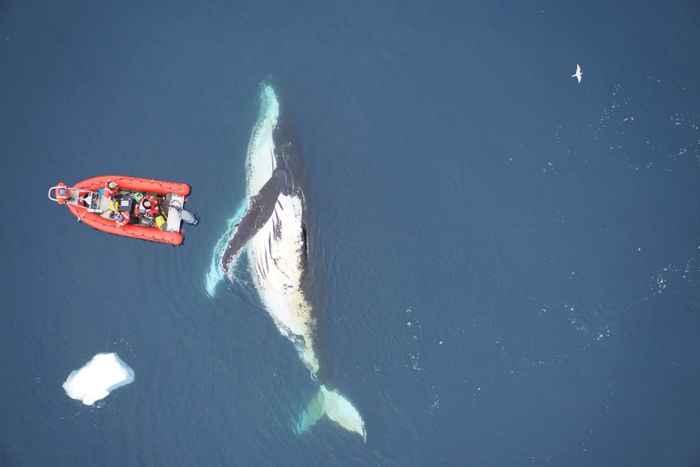 ballena jorobada en la Antártida