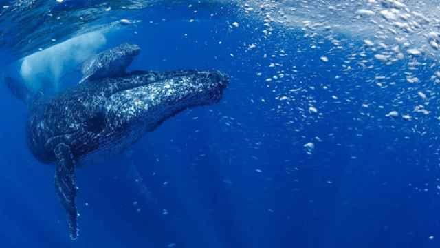 ballena jorobada (Megaptera novaeangliae)