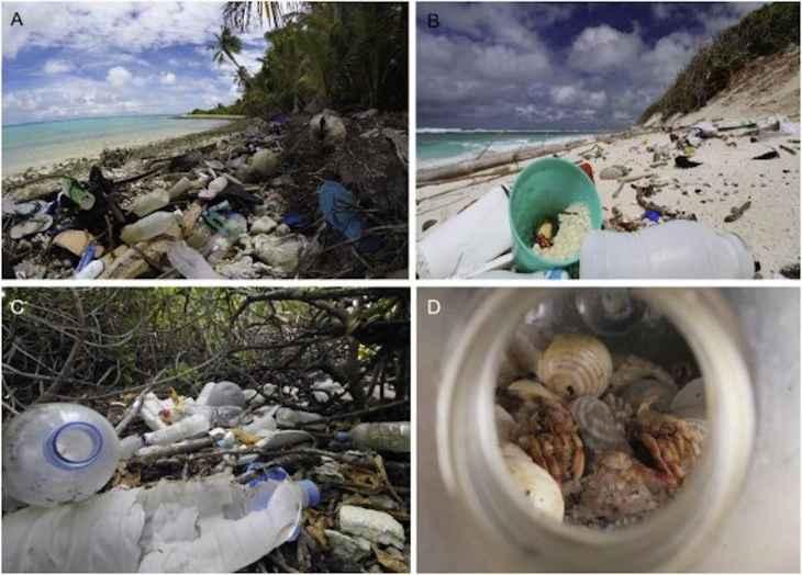 cangrejos ermitaños afectados por el plástico
