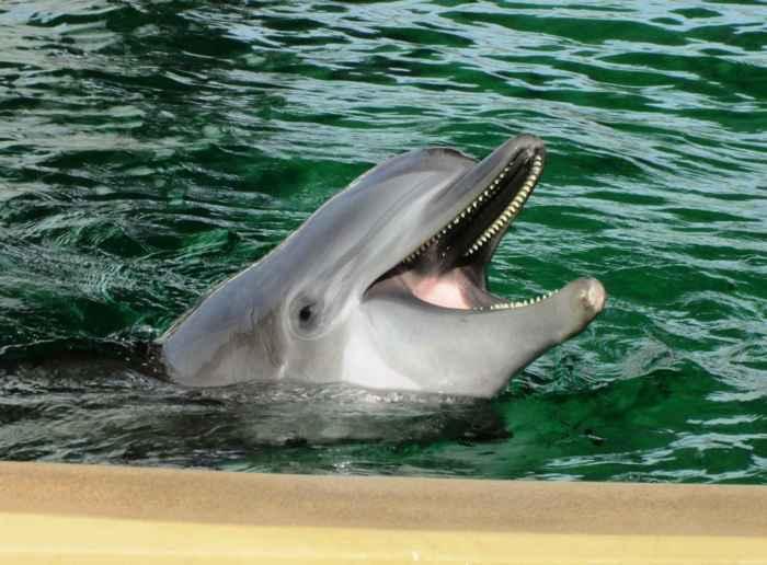 delfín nariz de botella (Tursiops truncatus)