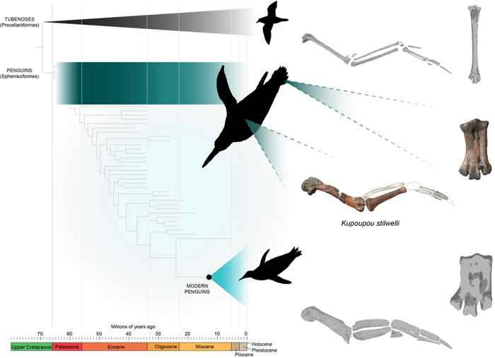 evolución de los huesos del pie en pingüinos