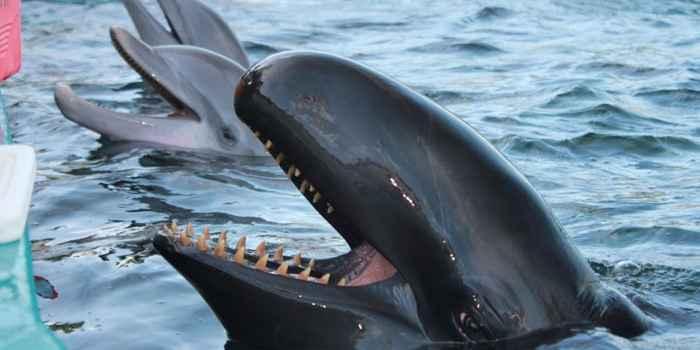 falsa orca Kina en el Sea Life Park de Hawái
