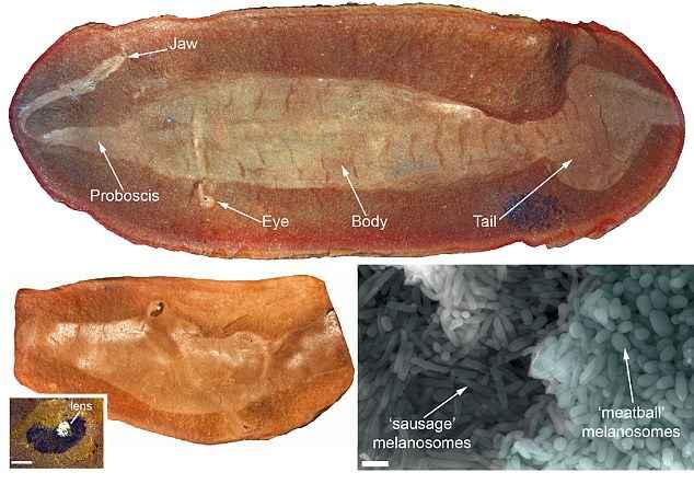 fósil de Tullimonstrum y melanosomas