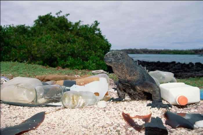 iguana marina entre plásticos