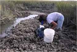 investigación del anillo de ostras
