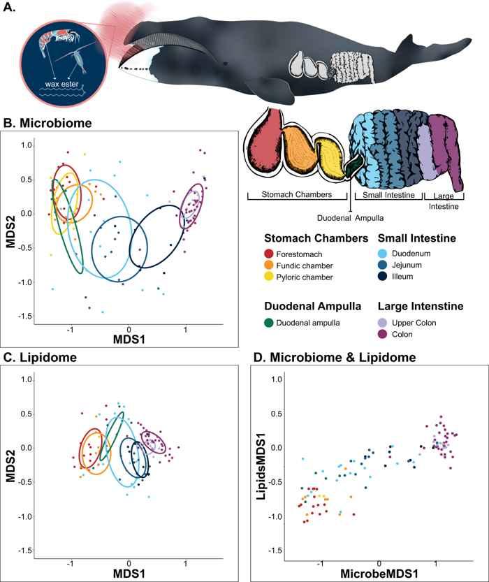 microbioma de la ballena de Groenlandia