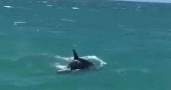 orca persigue a un tiburón blanco