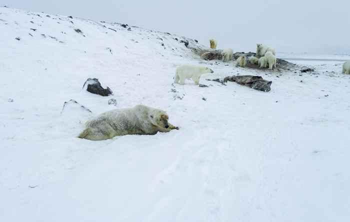 osos polares invaden aldea rusa