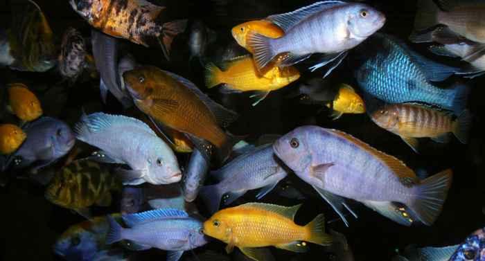 peces cíclidos