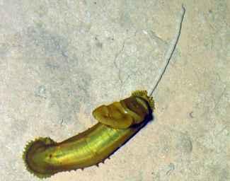 pepino de mar de aguas profundas