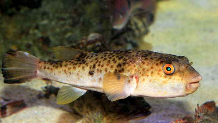pez globo (Takifugu rubripes)