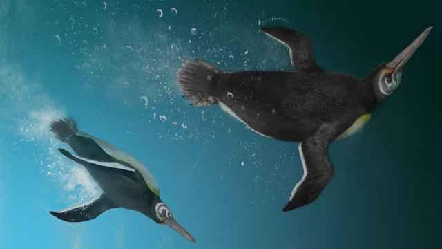 pingüino Kupoupou stilwelli